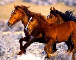 Caballos salvajes corriendo libremente por los desiertos y valles de Nevada