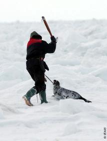 matanza-de-focas-2